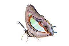 Papillon commun de nawab d'isolement sur le blanc Images stock