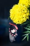 Papillon commun de Rose accrochant sur la fleur de souci Image libre de droits