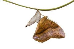 Papillon commun de sondaica de Discophora de gourde Photographie stock