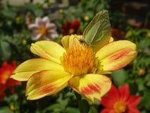 Papillon commun de soufre Photo libre de droits