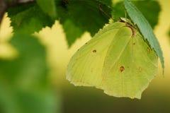 Papillon commun de soufre photo stock