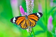 Papillon commun de tigre Photo libre de droits
