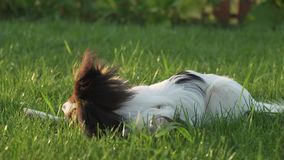 Papillon continental toy spaniel puppy gnawing stick on green lawn stock footage video stock video