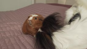 Papillon continental toy spaniel puppy playing with guinea pig breed golden american crested stock footage video stock video footage