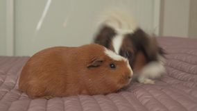 Papillon Continental Toy Spaniel puppy playing with Guinea pig breed Golden American Crested stock footage video stock video