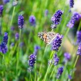 Papillon cosmopolite - cardui de Vanessa, Syn : Cardui de Cynthia - sur la lavande fleurissante image libre de droits
