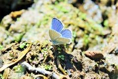 Papillon couper la queue-bleu occidental Images libres de droits
