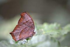 Papillon crépusculaire de Satyridae de forêt Photographie stock