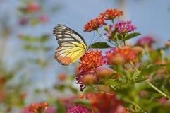 Papillon déchiré d'ailes suçant le nectar Photos libres de droits