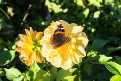 Papillon délicieux sur la fleur du dahlia jaune dans le jardin public fleurissant soigné Photographie stock libre de droits