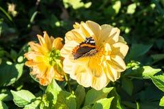 Papillon délicieux sur la fleur du dahlia jaune dans le jardin public fleurissant soigné Photo libre de droits