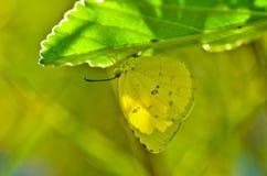 Papillon d'émigrant de citron Photo stock