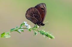 Papillon d'aethiops d'Erebia sur une fleur sauvage tôt le matin photos libres de droits