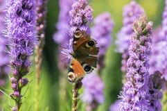 Papillon d'Agglais E/S sur la fleur pourpre de spicata de Liatris en fleur, usine fleurissante ornementale image stock