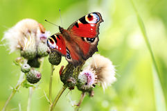 Papillon d'Aglais E/S Photographie stock libre de droits