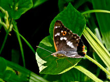 Papillon d'amiral. Photo libre de droits