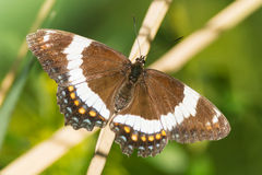 Papillon d'amiral blanc Photo stock
