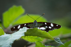 Papillon d'amiral blanc Image stock