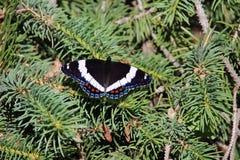 Papillon d'amiral blanc sur les aiguilles impeccables Photos libres de droits