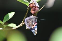 Papillon d'amiral rouge à l'envers Photo stock