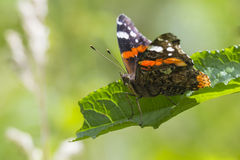 Papillon d'amiral rouge, atalanta de Vanessa Photographie stock