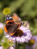 Papillon d'amiral rouge, atalanta de Vanessa Image libre de droits