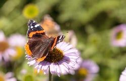 Papillon d'amiral rouge, atalanta de Vanessa Photo libre de droits