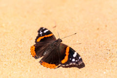 Papillon d'amiral rouge, atalanta de Vanessa Photo libre de droits