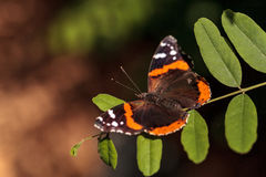 Papillon d'amiral rouge, atalanta de Vanessa Photo stock
