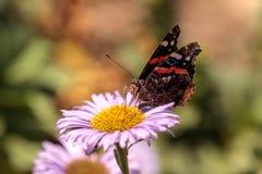 Papillon d'amiral rouge, atalanta de Vanessa Photos libres de droits