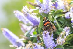 Papillon d'amiral rouge, atalanta de Vanessa, alimentant Images libres de droits