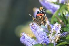 Papillon d'amiral rouge, atalanta de Vanessa, alimentant Photographie stock