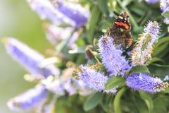 Papillon d'amiral rouge, atalanta de Vanessa, alimentant Photos stock
