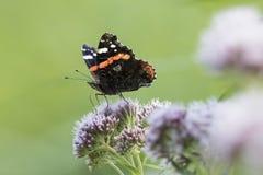 Papillon d'amiral rouge, atalanta de Vanessa, alimentant Photos libres de droits