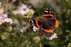 Papillon d'amiral rouge, atalanta de Vanessa, dans un jardin de papillon Image stock