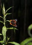 Papillon d'amiral rouge, atalanta de Vanessa, dans un jardin de papillon Images libres de droits