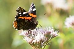 Papillon d'amiral rouge (atalanta de Vanessa) nectaring sur la fleur Photo libre de droits