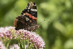 Papillon d'amiral rouge, atalanta de Vanessa, pollinisant Photo stock