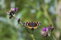 Papillon d'amiral rouge, atalanta de Vanessa, se reposant Photographie stock