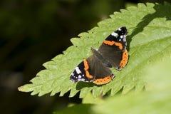 Papillon d'amiral rouge, atalanta de Vanessa, se reposant Image libre de droits