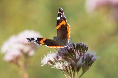 Papillon d'amiral rouge (atalanta de Vanessa) sur la fleur Image libre de droits