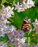 Papillon d'amiral rouge au soleil Photo libre de droits