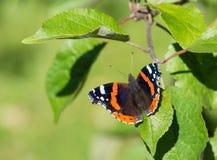 Papillon d'amiral rouge et x28 ; Atalanta& x29 de Vanessa ; Image libre de droits