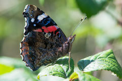 Papillon d'amiral rouge et x28 ; Atalanta& x29 de Vanessa ; au repos Image stock