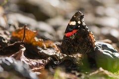 Papillon d'amiral rouge et x28 ; Atalanta& x29 de Vanessa ; alimentation sur le fruit tombé Photo stock