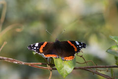 Papillon d'amiral rouge et x28 ; Atalanta& x29 de Vanessa ; avec des ailes ouvrez-vous Photo stock