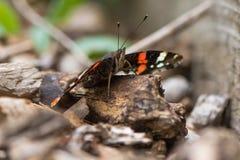 Papillon d'amiral rouge et x28 ; Atalanta& x29 de Vanessa ; se reposer sur la terre Photo libre de droits