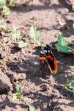 Papillon d'amiral rouge ou atalanta de Vanessa, ailes fermées Photographie stock libre de droits