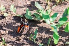 Papillon d'amiral rouge ou atalanta de Vanessa, ailes fermées Images libres de droits