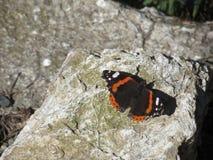 Papillon d'amiral rouge ou atalanta de Vanessa se reposant sur la roche avec des ailes ouvertes Photos stock